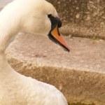 One swan — Stock Photo #12361813