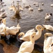 Swans flock — Stock Photo #12361913