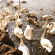 Swans flock — Stock Photo
