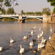 Swans flock — Stock Photo #12361952