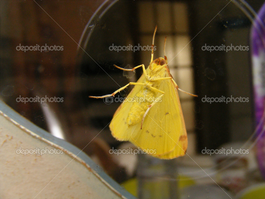 Yellow butterfly on the glass — Stock Photo #12361431