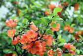 Pembe narin çiçek — Stok fotoğraf