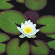 White Nymphaea alba surrounded by leaves — Stock Photo