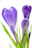 Purple crocus flowers closeup isolated on white background — Stock Photo