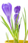 Purple crocus in yellow pot isolated on white background  — Stock Photo