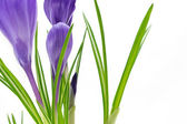 Beautiful vivid purple crocus flowers closeup on white background — Stock Photo