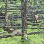 ������, ������: Bull Elks