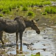 Moose — Stock Photo #33510621