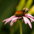 Bee and Flowers — Stock Photo