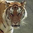 Tiger — Stock Photo #33540251