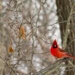 Cardinal — Stock Photo #39008833