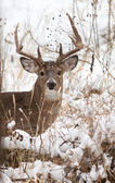 White Tailed Dee rBuck — Stock Photo