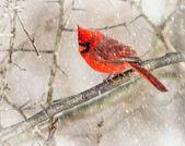 Cardinal — Photo