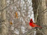 Cardinal — Stock Photo