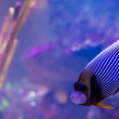 Emperor Angelfish — Stock Photo #39500967