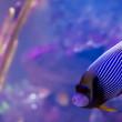 Emperor Angelfish — Stock Photo #39500967
