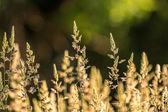 Erba della prateria — Foto Stock