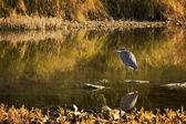 Great blue heron — Foto Stock