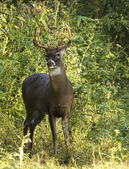 White Tail Deer Buck — Stock Photo