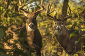 White Tail Deer Bucks — Stock Photo