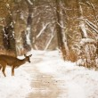 White Tailed Deer — Stock Photo