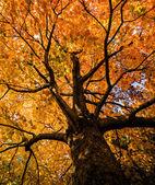 Klon czerwony drzewo — Zdjęcie stockowe