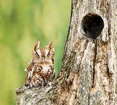 Eastern Screech Owl — Stock Photo