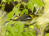 Cape May Warbler — Stock Photo