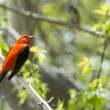 Male Scarlet Tanager — Stock Photo #47079501