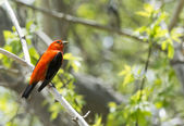 Male Scarlet Tanager — Foto de Stock