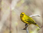 American Yellow Warbler — Stock Photo