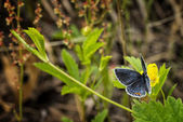 Eastern Tailed Blue Butterfly — Stock Photo
