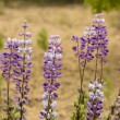 Blue Lupine Wildflowers — Stock Photo #47134055
