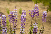 Blue Lupine Wildflowers — Stock Photo