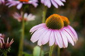Purple Coneflowers — Stock Photo