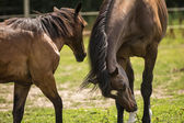 Horses in a Pasture — Stock Photo
