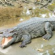 Fresh water adult crocodile from Thailand — Stock Photo