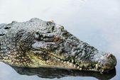 Stor vuxen saltvatten krokodil i lugnt vatten på nära håll — Stockfoto