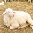 African white sheep laying on the ground and looking around — Stock Photo
