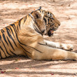 Captured asian bengal tiger in open space in metal chain — Stock Photo