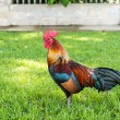 Royalty-Free Stock Photo: A Large Thai cock standing still looking for a fight