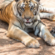 Stock Photo: Captured asibengal tiger in open space in metal chain