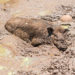Large dirty black wild pig laying in mud — Stock Photo #24625235