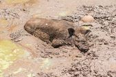 Large dirty black wild pig laying in the mud — Stock Photo