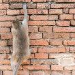 Stock Photo: Thai asian wild monkey climbing on red brick wall