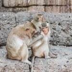 Thai asian wild monkey doing various activities — Stock Photo #29745151