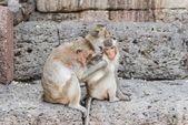 Thai asian wild monkey doing various activities — Stock Photo