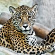 Wild leopard — Stock Photo #8319838