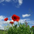 Poppy and blue sky — Stok fotoğraf