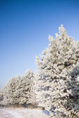 Hoarfrost on trees — Stock Photo